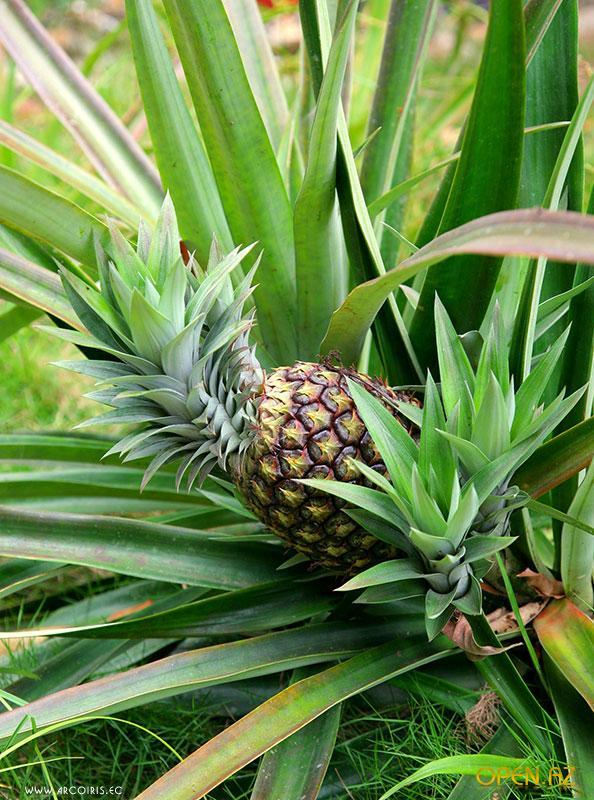 аллергия на ананас симптомы и фото
