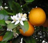 Апельсин сладкий