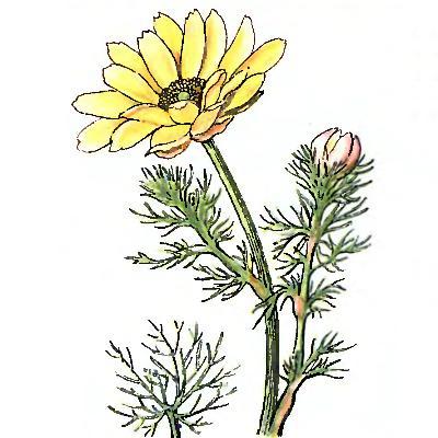 фото и описание адонис весенний
