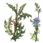 Цикорий обыкновенный