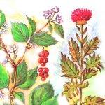 Лимонник, родиола розовая, левзея, стеркулия