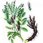 Солодка. Лекарственные растения