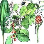 Коварные ягоды