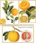 Золотые плоды Гесперид
