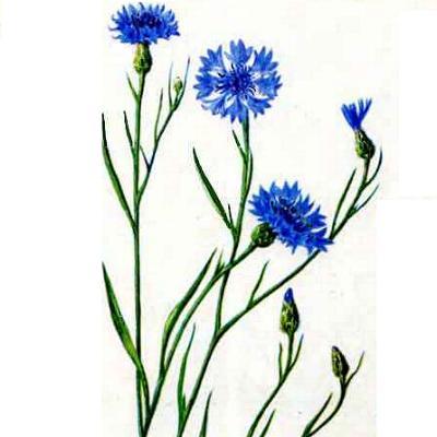 Лекарственные растения и травы картинки с названиями