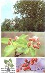 Дикая яблоня