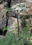 Вздутоплодник сибирский