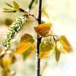 Лечебные свойства дрожащей осины