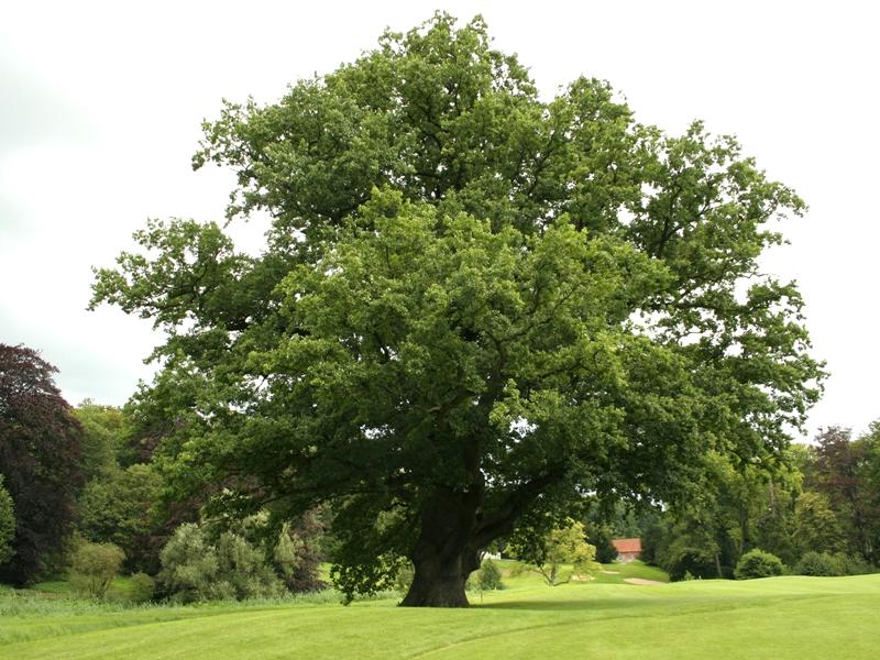 the oak and the elm tree National elm trial elm cultivars exist and are available in the nursery trade, much of the public is hesitant to purchase and plant any elm tree.