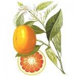 Апельсин или «помаранч»