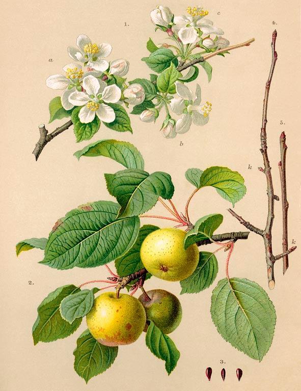 Яблоня лесная Malus sylvestris Таксон: Семейство розовые (Rosaceae) Другие названия.