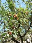 Яблоня лесная