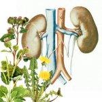 Нефриты, гломерулонефриты. Практика лечения растениями