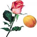 Золотистый абрикос и ароматная роза