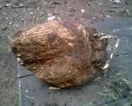 Пория кокосовидная