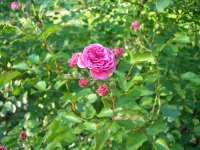 Роза дамасская