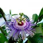 Седативные растительные средства. Алора – препарат пассифлоры