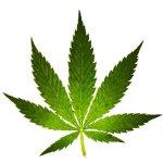 Тайна конопли или история лечения марихуаной