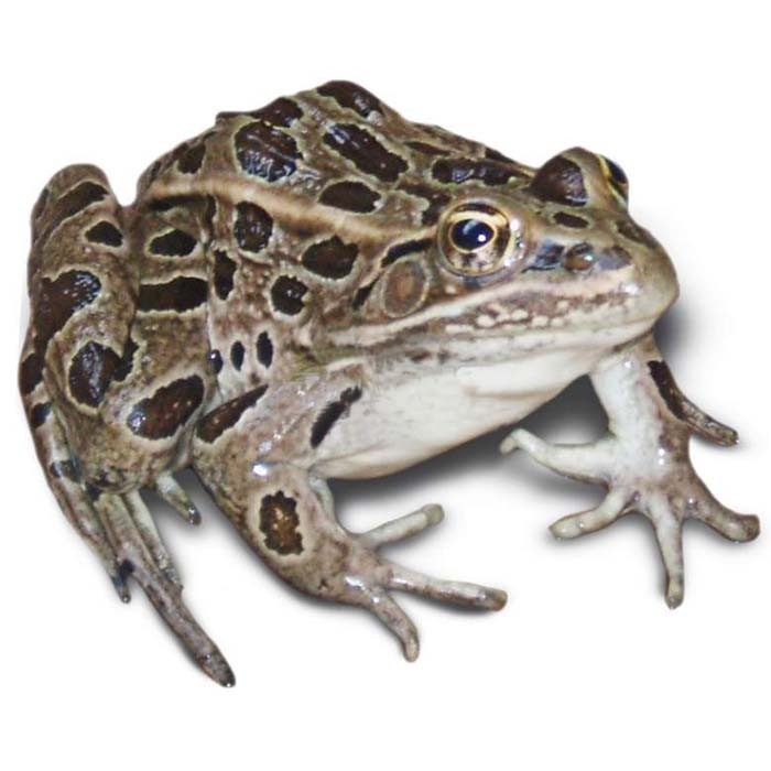 Жаба Грудная