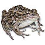 Лекарство из яда жаб